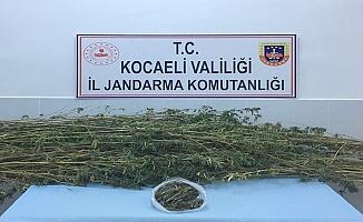 Kocaeli'de Ormanlık alanda  371 kök kenevir eve geçirildi